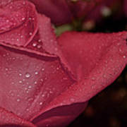 Wet Pink Rose Macro Art Print