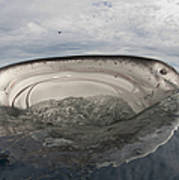 Whale Shark Feeding By Fishing Art Print