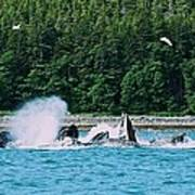 Whales Bubble Net Feeding Art Print
