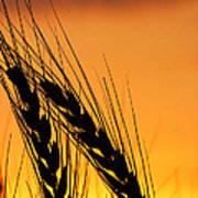 Wheat At Sunset Art Print