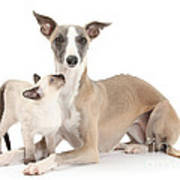Whippet And Siamese Kitten Art Print
