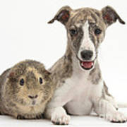 Whippet Pup With Guinea Pig Art Print