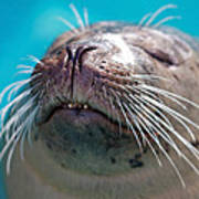 Whiskers Of A Seal Art Print