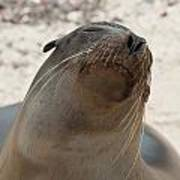 Whiskers On The Face Of A Fur Seal Art Print