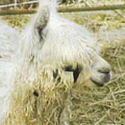 White Alpaca Photograph Art Print