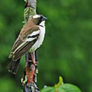 White-browed Sparrow-weaver Art Print