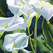 White Calla Lilies Art Print by Sharon Freeman