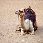 White Camel Art Print by Jane Rix