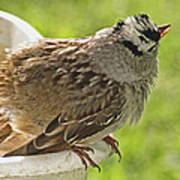 White Crowned Sparrow Sends A Warning Art Print
