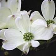 White Dogwood Blossoms Art Print