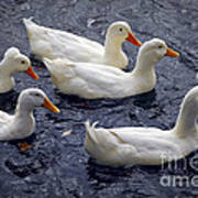 White Ducks Art Print