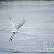 White Egret Flying Art Print
