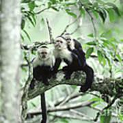 White-faced Capuchins Art Print
