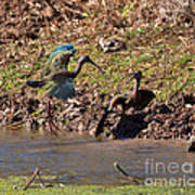 White-faced Ibis Mating Behavior In Early Spring Art Print