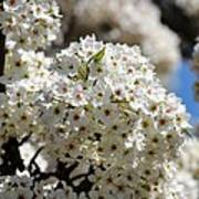 White Flowering Tree Floral Art Print