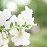 White Flowers In Summer Art Print