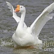 White Goose Art Print