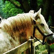 White Horse Closeup Art Print