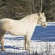 White Horse In Winter Maine Art Print