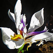 White Iris  Art Print by Daniele Smith