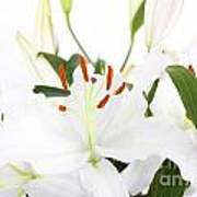 White Lilies And Background Art Print