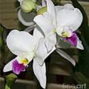 White Orchid Of Taiwan Art Print
