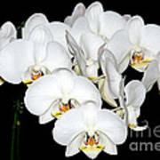 White Orchids On Black Art Print