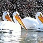 White Pelicans Art Print