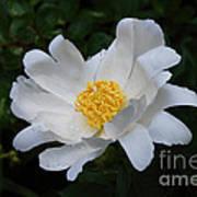 White Peony Flowers Series 4 Art Print