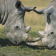 White Rhinoceros Ceratotherium Simum Art Print