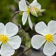 White Rock-rose (helianthemum Apenninum) Art Print