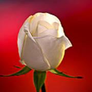White Rose Red And Black Bg Art Print