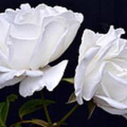 White Rose Twins. Art Print