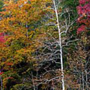 White Tree Fall Colors  Art Print