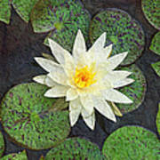 White Water Lily Art Print by Andee Design