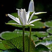 White Water Lily Art Print by Lisa  Spencer