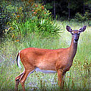 Whitetail Deer IIi Art Print