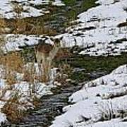 Whitetail Fawn In Winters Stream  Art Print