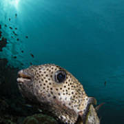 Wide-angle Image Of Pufferfish, Raja Art Print