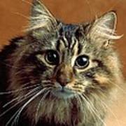 Wide-eyed Maine Coon Cat Art Print