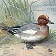 Widgeon, Historical Artwork Art Print