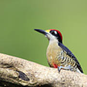 Wild Black-cheeked Woodpecker Art Print