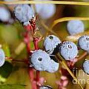 Wild Blue Berries With Water Drops  Art Print