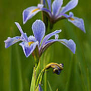 Wild Blue Flag Iris Art Print