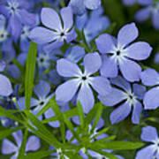 Wild Blue Phlox Flower 1 A Art Print