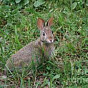 Wild Bunny Art Print