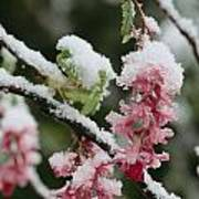 Wild Currant Blossoms Ribes Sanguineum Art Print