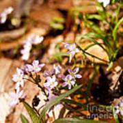 Wild Hyacinth Art Print
