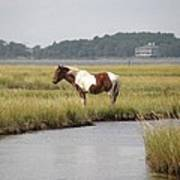 Wild Pony In The Marsh On Assateague Island Md Art Print