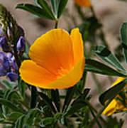 Wild Poppy And Lupine Art Print